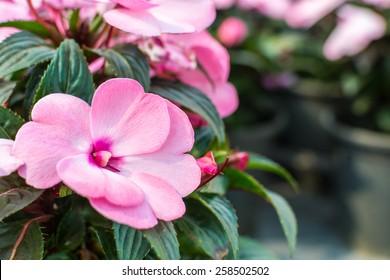 Impatiens hawkeri (New Guinea impatiens) flowers in front of coleus plants