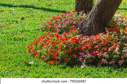 Impatiens walleriana Flowering Shrubs Under the tree with green grass