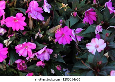 Impatiens walleriana, also known as busy Lizzie , balsam, sultana, or simply impatiens,