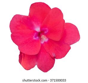 Impatiens walleriana red flower on white background.