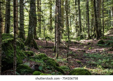 Impenetrable thickets in the taiga. Wild nature. Pine trees, ate. Summer. Far East, Sakhalin Island, Russia.