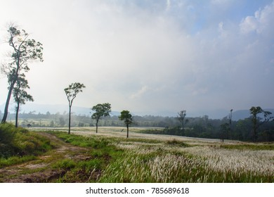 imperata cylindrica white grass field
