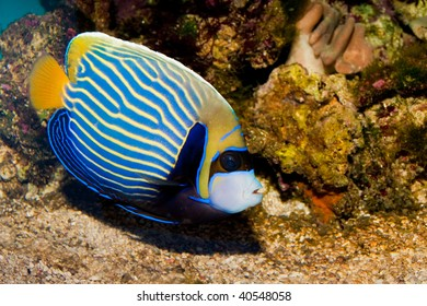Imperator or Emperor Angelsfish