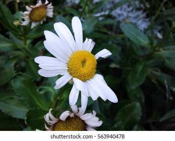 Imperfect daisy flower
