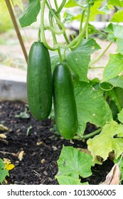 Imperfect ripe green cucumbers and leaves growing in garden bed - cultivar is seedless. Organic gardening in New Zealand, NZ.