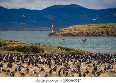 Imperial cormorant in one island of the Beagle Channel in front Ushuaia, Wild life in Argentinian coast
