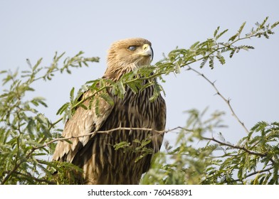 Imperial Eagle with it's nictitating membrane showing