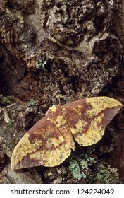 Imperial Moth (Eacles imperialis) on bark
