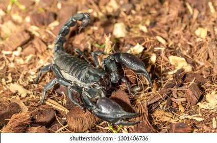Imperial scorpion close-up on the ground. Black big scorpion