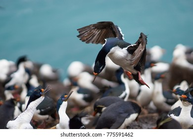 Imperial Shag (Phalacrocorax atriceps albiventer) coming into land among a large group of birds on the coast of Saunders Island on the Falkland Islands
