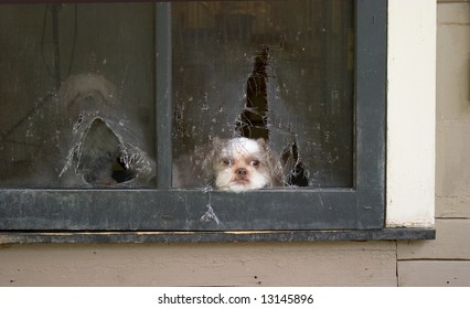 Imperial (Toy) Shih Tzu puppy lies patiently awaiting the right time to break through the screen door he chewed up in planning his escape!