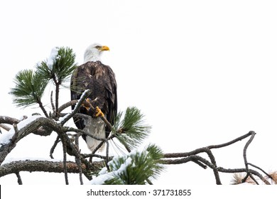 imposing Bald Eagle perched on a tree branch mid winter in Coeur d' Alene, Idaho