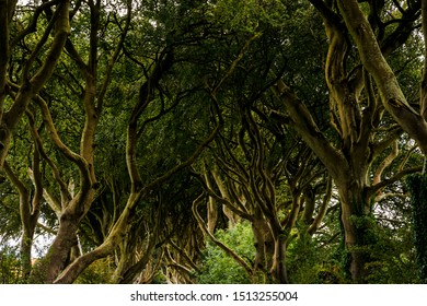 The imposing beech avenue Dark Hedges in Northern Ireland - setting in Game of Thrones. The Dark Hedges is an avenue of beech trees along Bregagh Road between Armoy and Stranocum in County Antrim