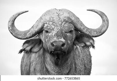 The Imposing Buffalo Portrait