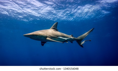 The imposing figure of the shark is silhouetted against the blue. Aliwal Shoal (South Africa)