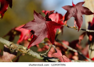 Impression of autumn, view of branches and leaves of the maple tree. Macro photography of nature.