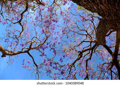 Impression and strange shape of branch of flamboyant tree view from under the tree, violet flower on blue sky bloom in spring make wonderful nature