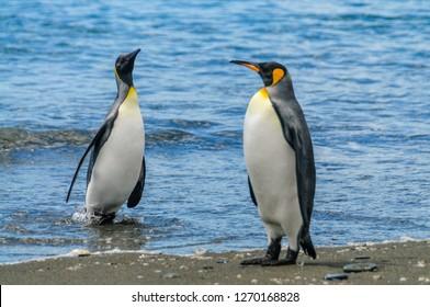 Impression of the wild abundance of King Penguins at Salisbury Plains, South Georgia.