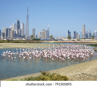 Impression of the Wildlife Sanctuary Ras Al Khor with Greater flamingo's and the skyline of Dubai, United Arab Emirates