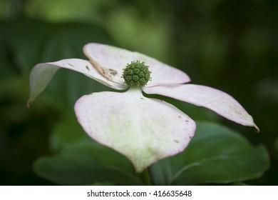 impressions from a garden in Brandenburg, Germany. flower of a dogwood bush (Cornus)
