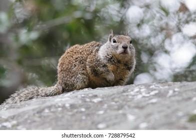Puppy Alpine Marmot His Den Stock Photo (Edit Now) 102284701