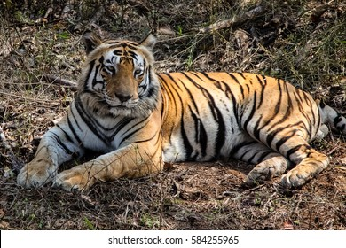 Impressive Bengal tiger resting in the forest, Kanha National Park, India