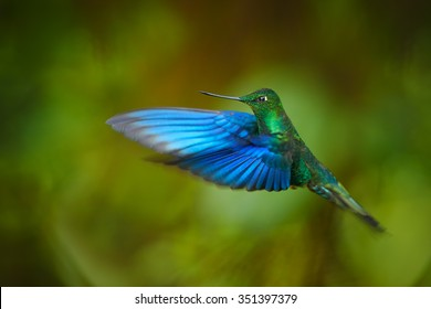 Impressive big hummingbird Great Sapphirewing Pterophanes cyanopterus male in flight with outstretched blue wings in its typical environment in Ecuadorian cloud forest. Green background.