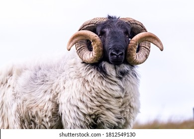Impressive blackface sheep with huge horns in County Donegal - Ireland.