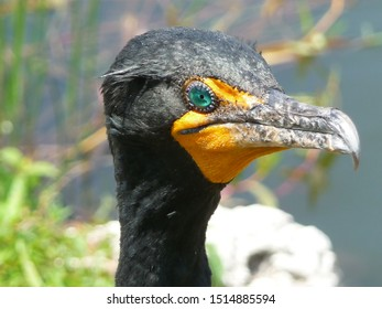 Impressive close-up of the head of a male cormorant - green eye, black and yellow face and hooked beak (Everglades, Florida, USA)