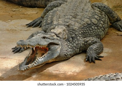 Impressive closeup of a huge crocodile with open mouth