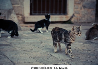 Impressive domestic cat  walking in old Europe town street in vintage style
