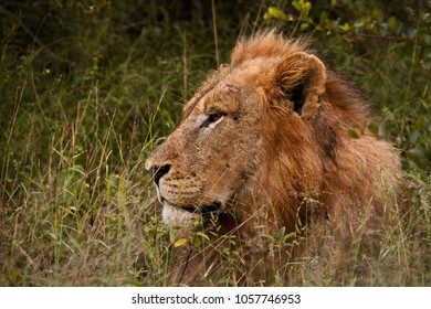 Impressive maned male lion with a battle scar above his eye