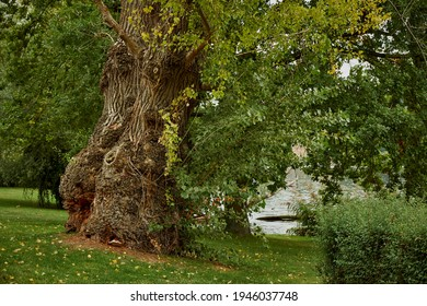 """Impressive old lime tree in the park of former """"Jagdschlosses Glienicke"""" at the banks of the """"Glienicker Lake"""" in Berlin-Wannsee"""