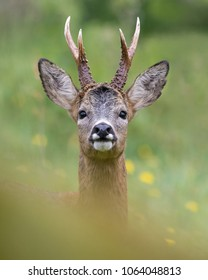 Impressive portrait of a wild roe deer with big antlers taken just a few meters from the photographer. Spain.
