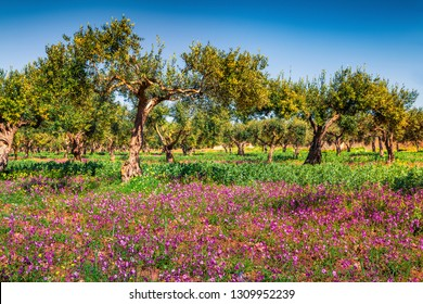 Impressive spring view of blooming tangerine garden. Colorful morning scene of Cape Milazzo countryside, Sicily, Italy, Europe. Beauty of nature concept background.