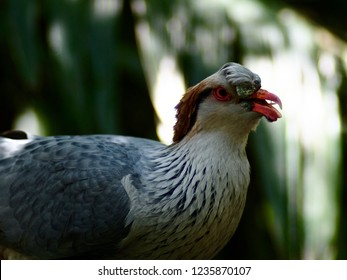 Impressive Stylish Male Topknot Pigeon with Remarkable Plumage.