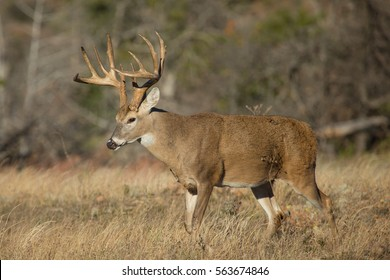 impressive whitetail deer buck in profile, during rut, in profile with perfect sun rise lighting and woodlands in background