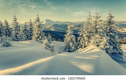 Impressive winter forest landscape in sunny day. Icy snowy fir trees glowin in sunlight. winter holiday concept. travel day. wonderland in winter. Amazing Nature background. Christmas holyday concept