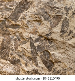 Imprint of fossil prehistoric plant leaves on stone