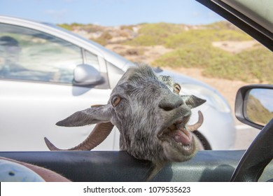 Impudent Cretan goat trying to get to the car seeking for food