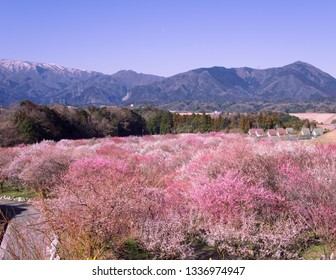 Inabe Bairin flower plum park is the most beautiful and pinkiest flowers of plum.