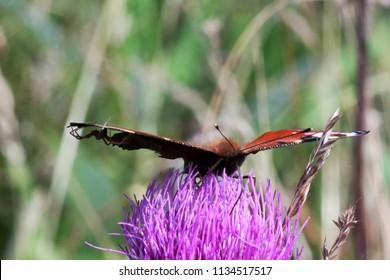 Inachis io on thistle flower