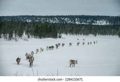 INARI, FINLAND - MARCH 2015: a group of reindeer walk in single file in the forest near the village of Inari in the Finnish Lapland, circa March 2015.