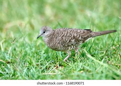 Inca Dove (Columbina inca) foraging in grass, Jocotopec, Jalisco, Mexico
