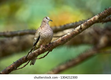 The Inca dove or Mexican dove (Columbina inca). A bird sitting on a branch in beautiful light. Wildlife scene from Costa Rica.