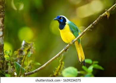 Inca jay (Cyanocorax yncas) is a bird species of the New World jays, which is endemic to the Andes of South America.