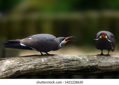 The Inca tern (Larosterna inca), couple in courtship.