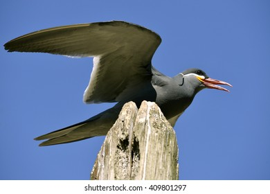 Inca tern (Larosterna inca) perched on wood post on blue sky background