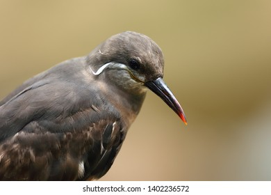 The Inca tern (Larosterna inca) portait of the jucenile birdt with yellow background. Portait of the tern.