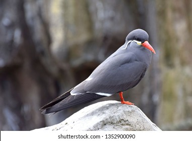 The Inca Tern (Larosterna Inca) is a resident of Peru and Chili. It is restricted to the Humboldt Current, may visit Ecuador.